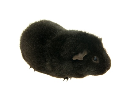 guinea pig on a white background . photo