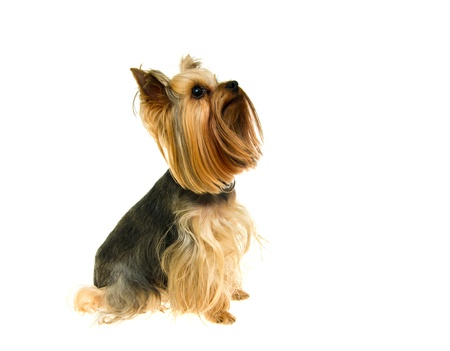 brown haired: Yorkshire Terrier isolated on a white background Stock Photo