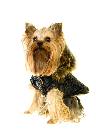 Yorkshire Terrier in a winter jacket isolated on a white background photo