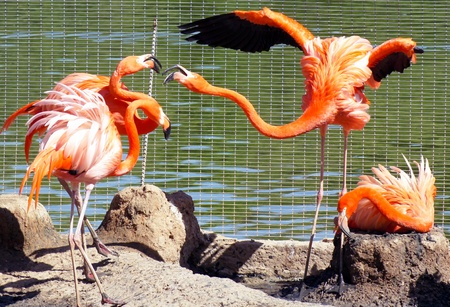 greater: greater flamingos
