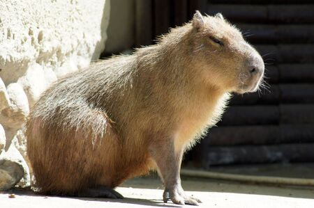 rodent: The biggest in the world rodent capybara, Hydrochoerus hydrochaeris