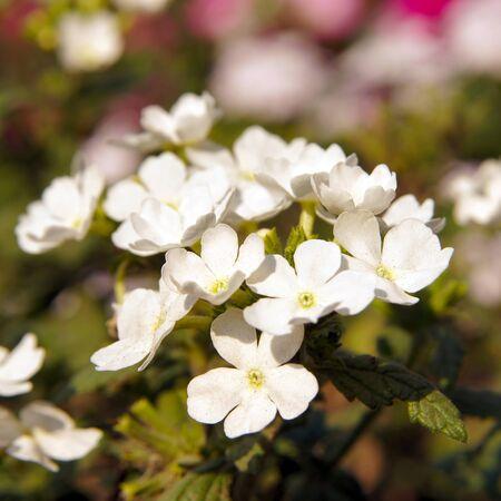 hybrida: Verbena hybrida, white flower
