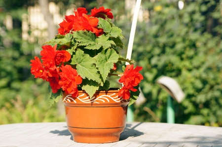Red flower in a clay pot photo