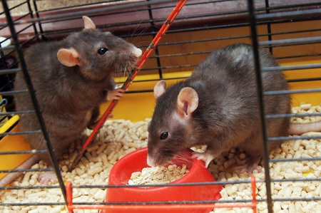 Rats in a cage eat a forage from a feeding trough photo