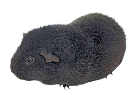 black guinea pig on a white background photo