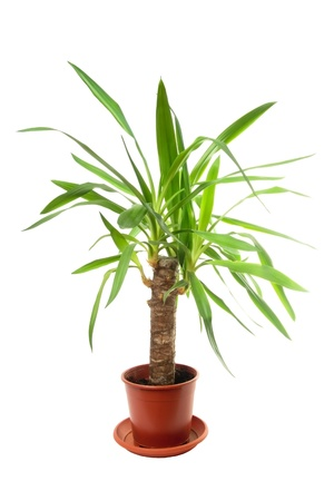the plant in a pot, is isolated on the white Stock Photo