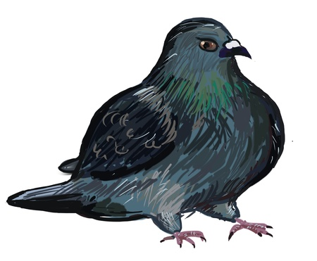 the drawn blue rock pigeon Stock Photo - 12850120