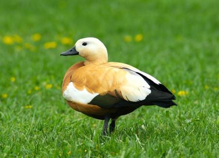 waterbird: brown duck on a green grass