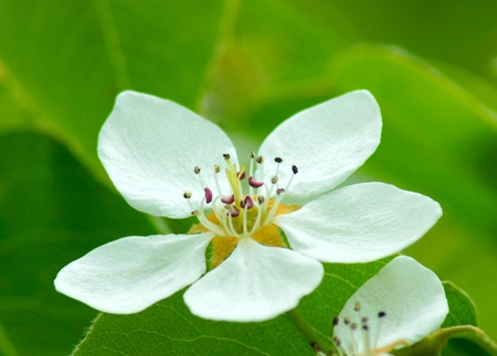White flowers of an apple tree and green leaves photo