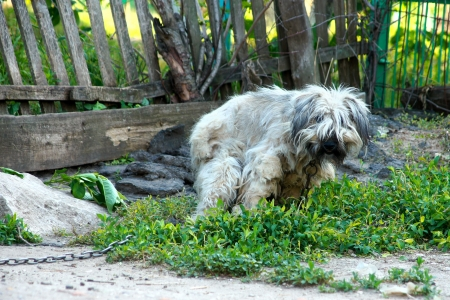 mountain dog: the slovenly shaggy watchdog spoils on a green grass