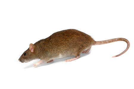 rata: rata va, aislados en el blanco