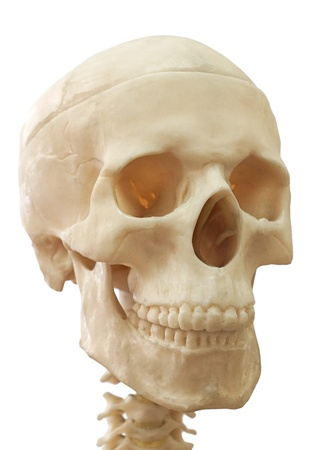 human jaw bone: human skull, isolated on white.