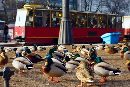 City ducks and red tram  Stock Photo - 20071160