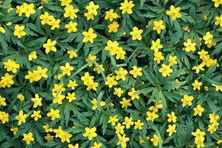 background from small yellow florets Stock Photo - 24328216