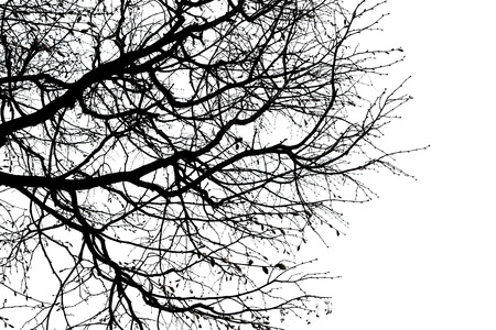 black silhouette of branches of a tree,  isolated on the white. Stock Photo