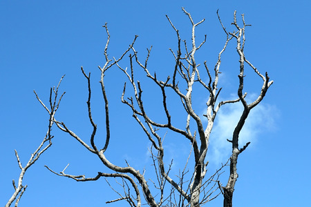 clear day in winter time: Blue sky and the bare black branches of a tree.