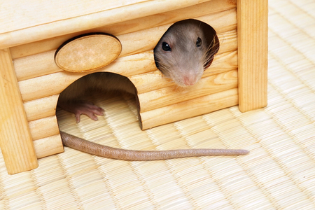 indoor: Rat looks out of the house windows, horizontal photo. Stock Photo