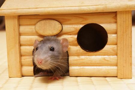 raton: rata decorativa en una casa de madera.