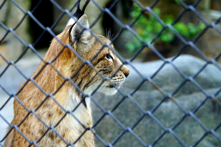 Portrait of a wild lynx in the profile of the lattice fence. Stock Photo