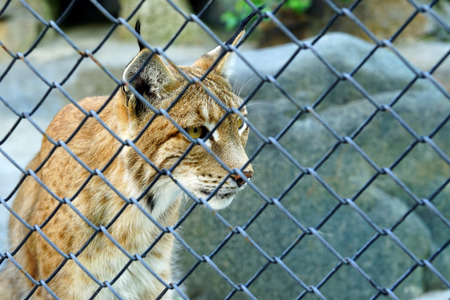 A close look wild lynx, with the lattice fence.