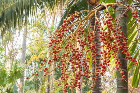 clustered: Close-up of Red sealing wax palm tree in the garden. Stock Photo