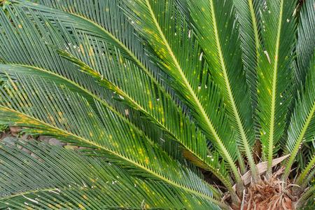 cycad: Cycad scientific name is Cycas circinalis L., Families Cycadaceae.
