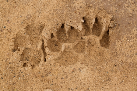 Paw dog footprints on the sand textures.
