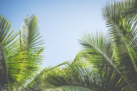 Leaves Palm coconut trees against blue sky, Palm trees at tropical coast,summer tree, beautiful tropical background