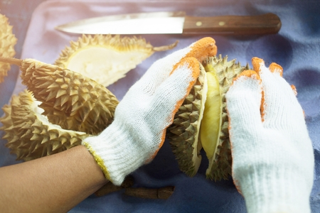 Peel Fruit of a ripe durian in the hands of a durian fruit in close-up hands.