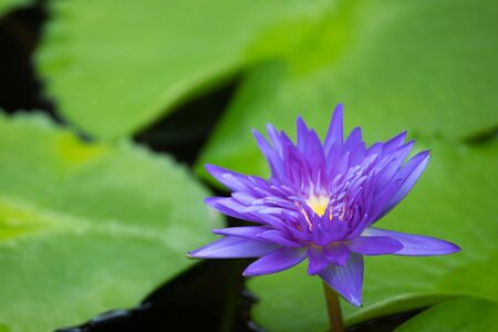 Beautiful purple water lily blooming on water surface and green leaves toned, purity nature background, aquatic plant or lotus flower in pond. soft focus.
