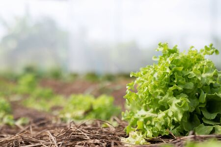 Farming Organic Green Oak Lettuce vegetable garden leaves on the plant plot in the morning light. Agriculture bio eco production concept. soft focus. Shallow depth of field with focus on the seedling