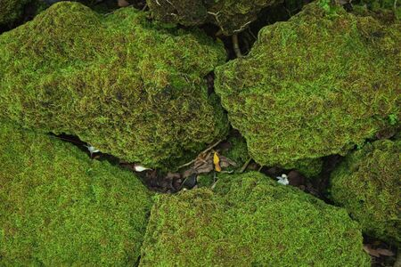 Beautiful Bright Green moss grown up cover the rough stones and on the floor in the forest. Show with macro view. Rocks full of the moss texture in nature for wallpaper. soft focus. Zdjęcie Seryjne