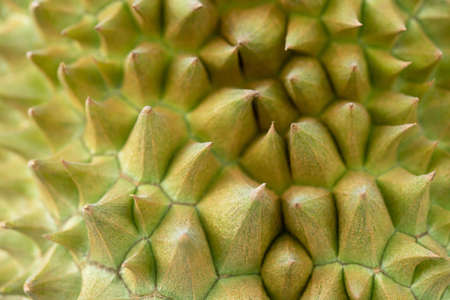 Fresh durian fruit in the garden of Thailand ready to export to sell abroad Imagens