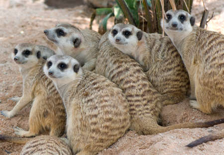 suricata suricatta: lovely family of meerkats