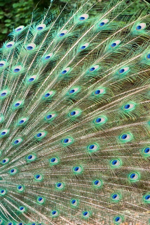 beautiful feather of peacock photo