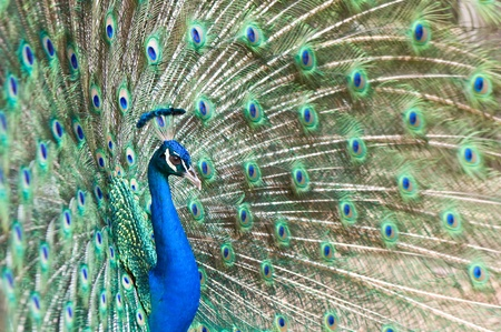 flaunt: beautiful peacock is spreading tail