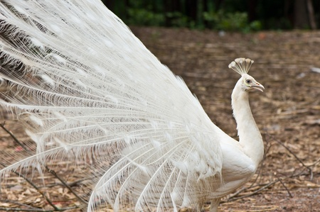 indian peafowl: white peacock is spreading tail