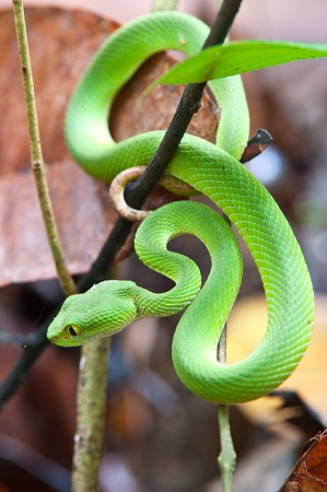 orange snake: snake (green pit viper) in forest Stock Photo