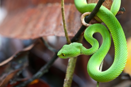 viper: snake (green pit viper) in forest Stock Photo