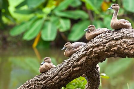 spot-billed duck on log photo