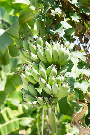 Banana tree with a bunch of raw bananas Stock Photo