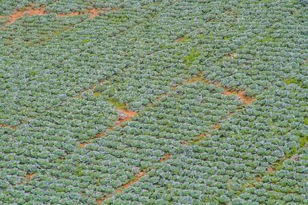 rowth: Cabbage garden. Stock Photo