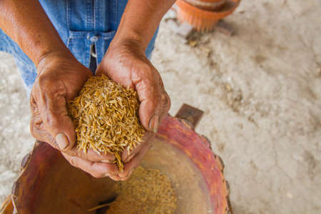 plant seed: Rice on hand,farmer Stock Photo