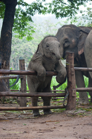 Funny Baby Thai Elephant photo