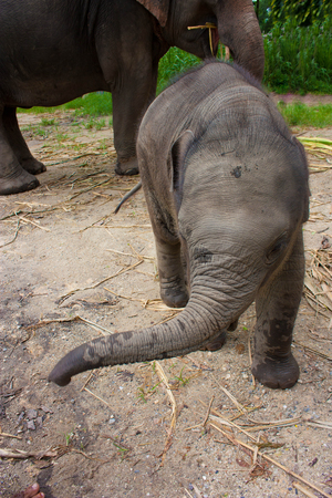 Thai elephant baby walking photo