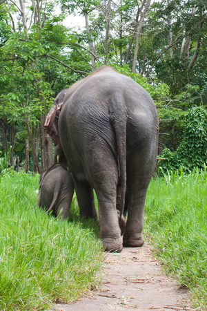 thai elephant mom and baby walking photo