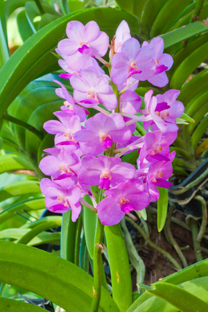 Pink Orchid Flowers and leaf - Rhynchostylis photo