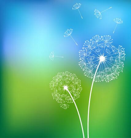 White dandelions in meadow spring