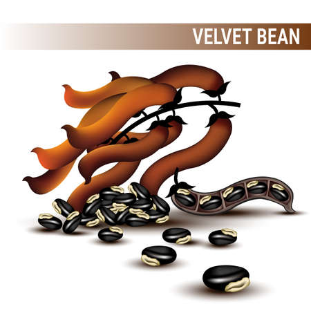 Velvet beans or Mucuna pruriens vector on white background