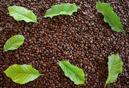 Arabica coffee  leaves on roasted coffee beans  for background